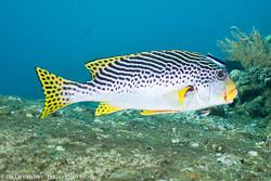 BD-130330-Tulamben-8032-Plectorhinchus-lineatus-(Linnaeus.-1758)-[Yellowbanded-sweetlips].jpg
